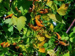 Почему малина сохнет вместе с ягодами и что делать для лечения