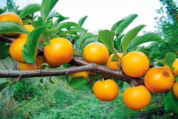 ягоды алычи
