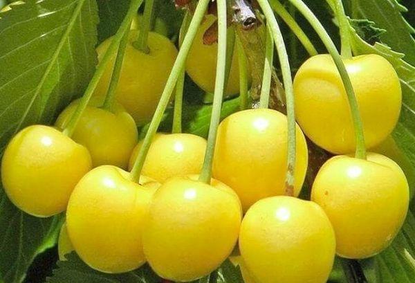 Приусадебная желтая