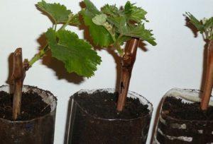 Как размножить виноград летом зелеными черенками в домашних условиях