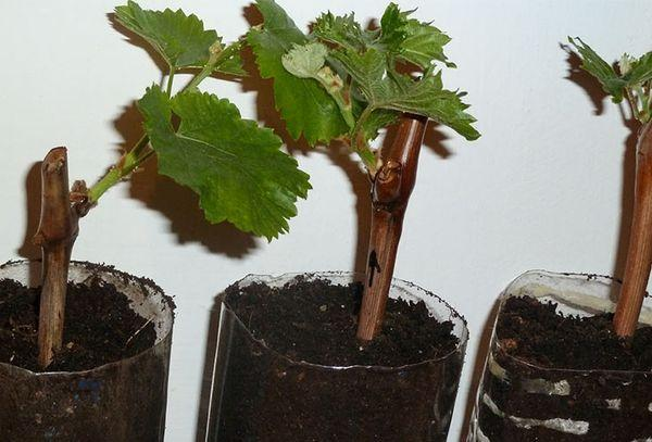 черенки винограда