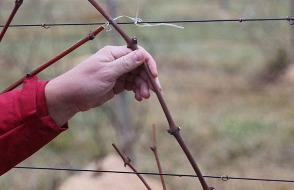 размножение винограда