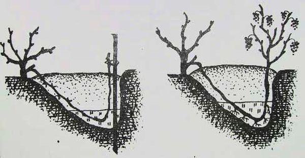 отводки для размножения