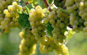 Описание винограда сорта Рислинг, особенности посадки и ухода