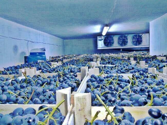 збор и хранение винограда