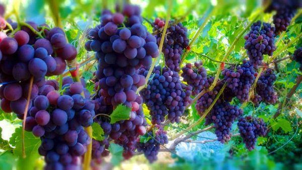 качественный виноград