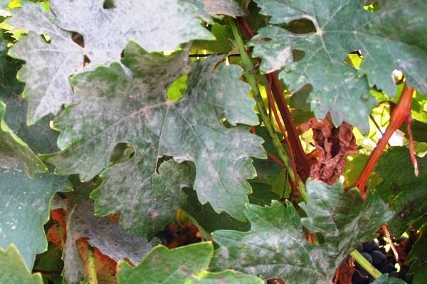 мучнистая на листьях
