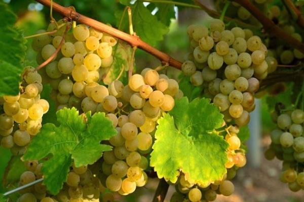 грозди у винограда
