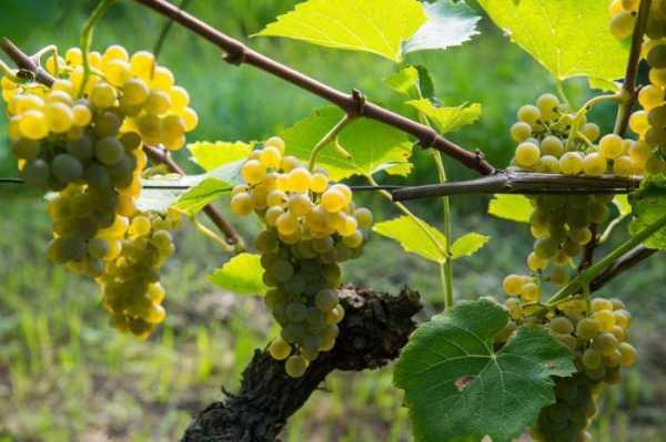 описание винограда