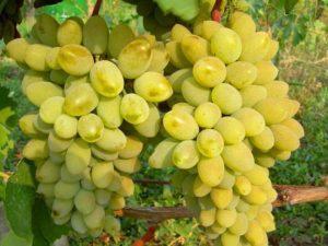 Характеристики и описание винограда сорта Дарья, посадка и уход