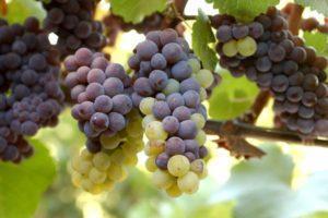 Описание и технология выращивания винограда сорта Пино Гриджио