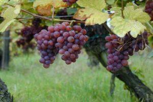 Описание и характеристика винограда сорта Траминер, посадка и уход