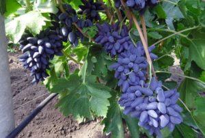 Описание и технология выращивания сорта винограда Викинг