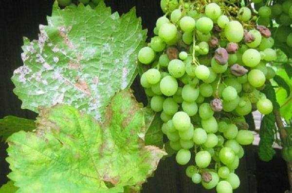 парша винограда