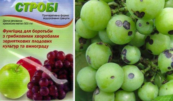 строби для винограда