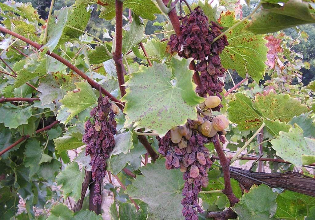 Вертициллез куст винограда