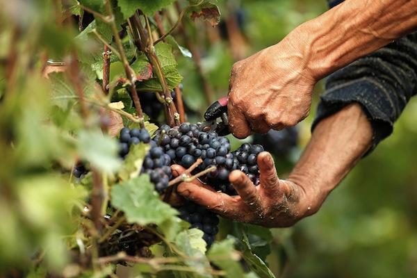 большой виноград