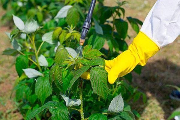 опрыскивание кустов малины
