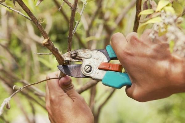 правильная обрезка персика