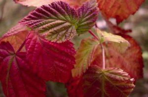 Почему у малины начинают краснеть листья в июне и что делать