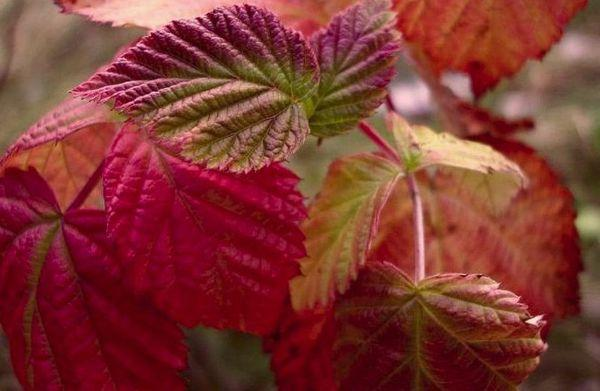 листья малины