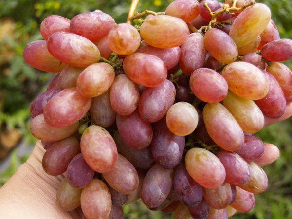 виноград Теремок