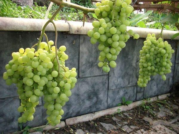 виноград Буратино