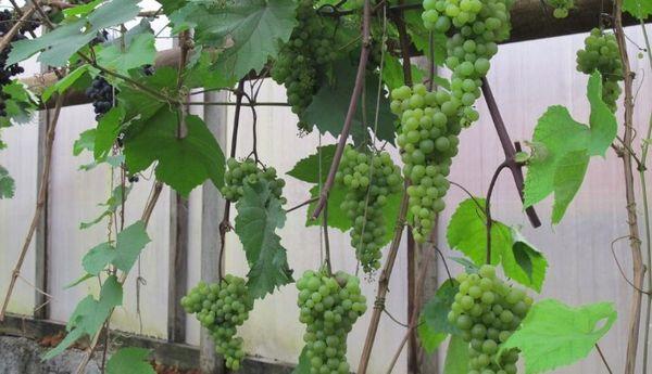 виноград в парнике