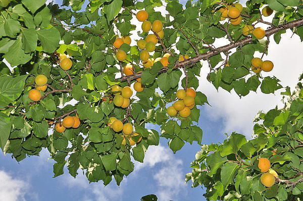 абрикосы на урале