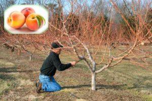 Сроки и правила обрезки персика, схема формирования после снятия урожая