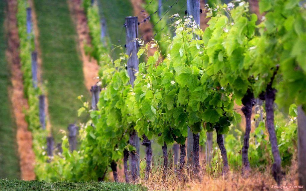 виноград обрезка и формовка