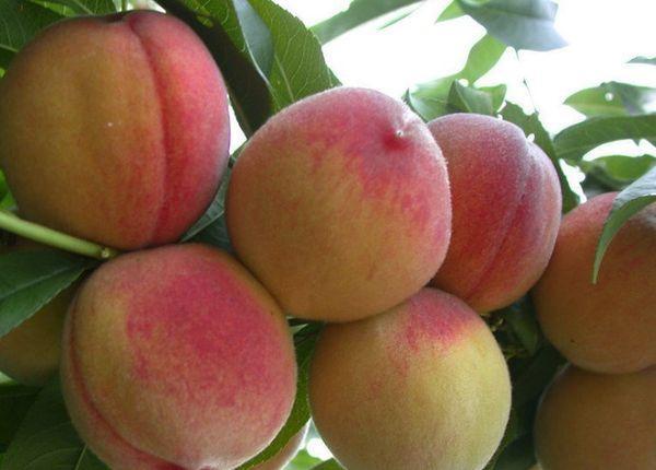 ветка с персиками
