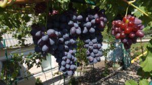 Характеристики и описание винограда сорта Шоколадный, посадка и уход