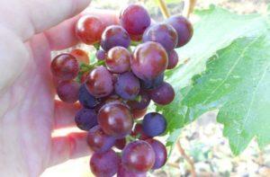 Описание 30 сортов винограда для Сибири, посадка и уход для начинающих