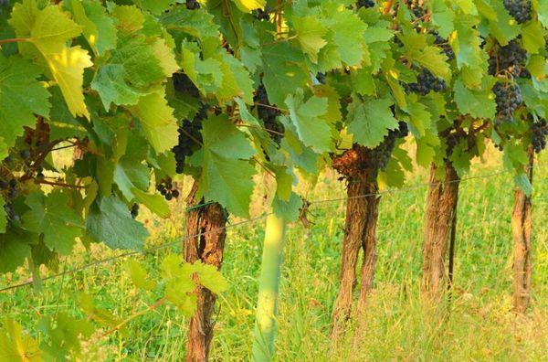 виноград Соловьева-58