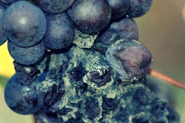виноградная гниль