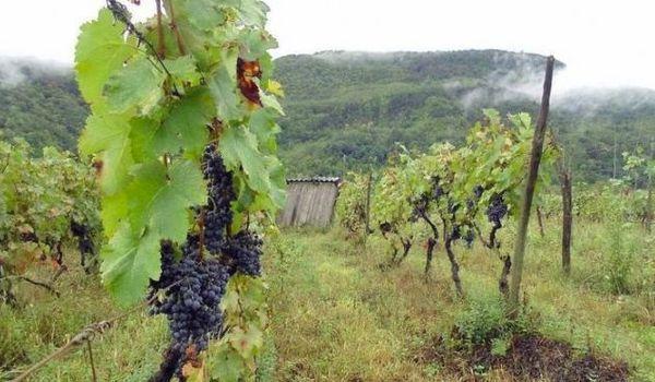 виноградное поле