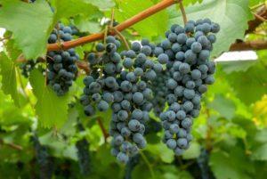 Описание и размножение сорта винограда Амурский, посадка и уход