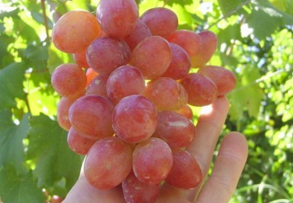 плоды альфы