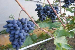 Описание и правила выращивания винограда сорта Атос