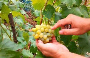 Описание винограда сорта Августин, посадка и уход, способы размножения