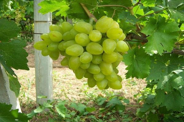 гроздь сортовая