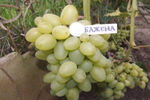 Описание винограда сорта Бажена, правила посадки и ухода