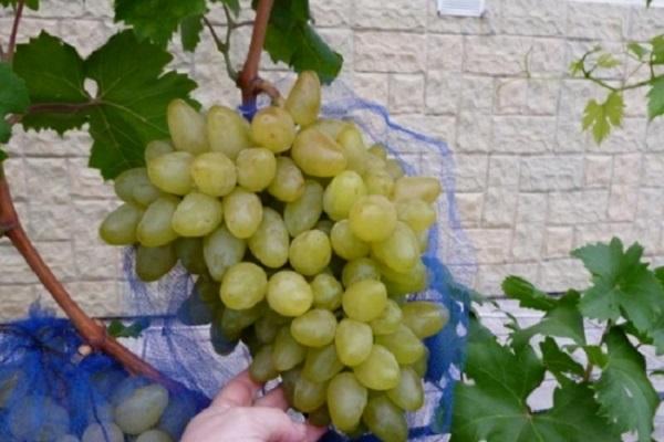 качество винограда