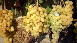 Описание винограда сорта Долгожданный, правила посадки и ухода