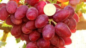 Описание и технология выращивания сорта винограда Дубовский розовый