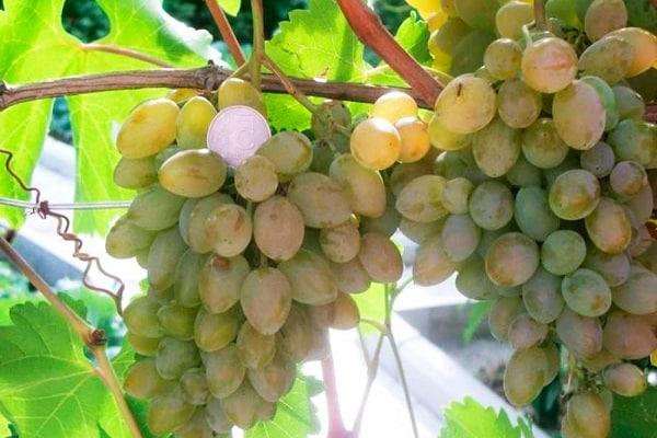виноград элегантный
