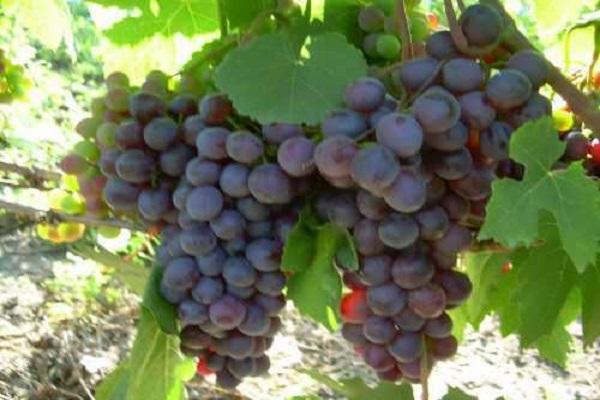 крупные грозди