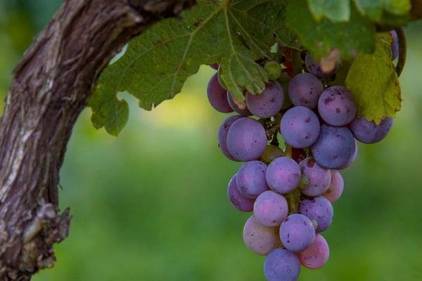 малая гроздь