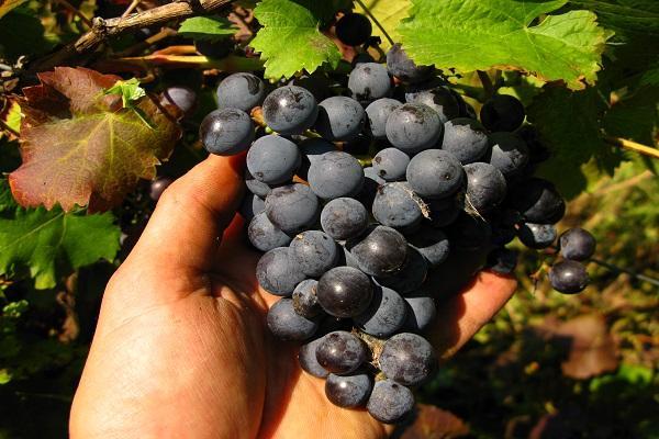 ягодки для вина